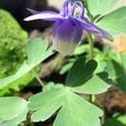 深山苧環(ミヤマオダマキ)紫